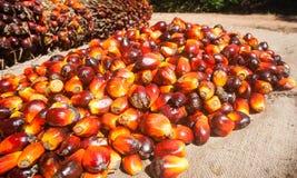 Palmolievruchten stock afbeeldingen