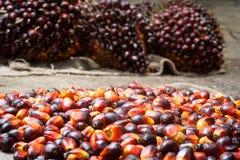 Palmolievruchten Stock Foto