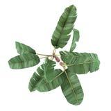 Palmowa roślina odizolowywająca. Musa acuminata banana wierzchołek Zdjęcie Stock