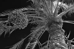 Palmowe daty Obrazy Stock