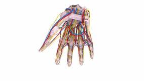 Palmowe kości z wiązadłami, naczyniami krwionośnymi i nerwami, ilustracji