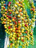 Palmowe owoc Azja Zdjęcia Stock