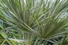 Palmowego liścia chamearops humilis drzewka palmowego karłowata roślina opuszcza liść od środkowy denny śródziemnomorskiego Zdjęcie Royalty Free