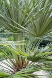 Palmowego liścia chamearops humilis drzewka palmowego karłowata roślina opuszcza liść od środkowy denny śródziemnomorskiego Zdjęcia Stock