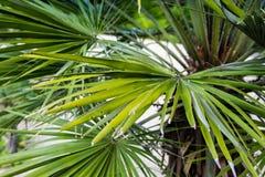 Palmowego liścia chamearops humilis drzewka palmowego karłowata roślina opuszcza liść od środkowy denny śródziemnomorskiego Obrazy Royalty Free