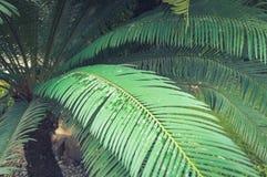 Palmowego liścia zakończenie przeciw drzewka palmowego tłu Zdjęcie Stock