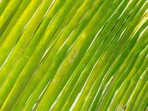 Palmowego liścia zakończenie up Obraz Stock