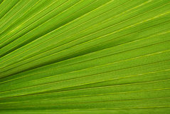 Palmowego liścia tekstura Obrazy Royalty Free