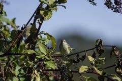 Palmowego Warbler pokeberry kontakt wzrokowy zdjęcie royalty free