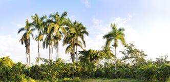 palmowej panoramy królewscy drzewa Fotografia Stock