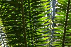 Palmowi Fronds obraz stock