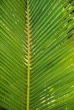 Palmowi leavs z bliska Obrazy Stock