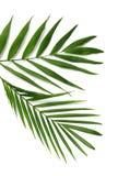 Palmowi liście Fotografia Royalty Free