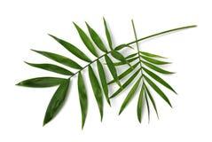 Palmowi liście Fotografia Stock