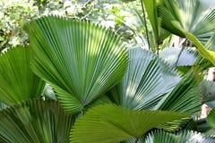 Palmowi liście Zdjęcie Stock