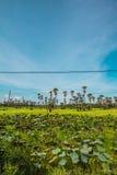 Palmowi lotosów pola Zdjęcie Royalty Free