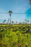 Palmowi lotosów pola Fotografia Stock
