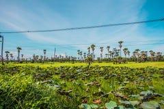Palmowi lotosów pola Obrazy Royalty Free