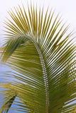Palmowy Frond Fotografia Royalty Free