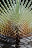 Palmowy Liść Obraz Royalty Free