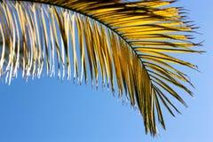 Palmowy liść Zdjęcie Stock