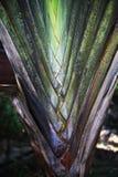 Palmowy liść, drzewo Fotografia Stock