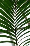 Palmowy liść od howea forsteriana arecaceae kentiapalm od wysp Zdjęcia Royalty Free