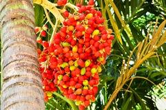 Palmowy nasiono. obraz royalty free