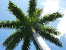 palmowy pogodny drzewo Obrazy Royalty Free