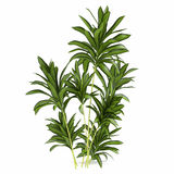 Palmowy roślina krzak royalty ilustracja