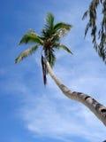 palmowy strzelisty drzewo Zdjęcie Royalty Free