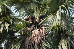 Palmowy wina jeden naturalny nap?j typ bierze za drzewku palmowym w glinianym garnku od przy rankiem zachodni Bengal India zdjęcie stock