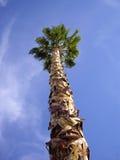 palmowy wysoki drzewo Zdjęcie Royalty Free
