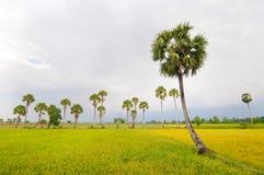 Palmrij en padieveld stock afbeelding
