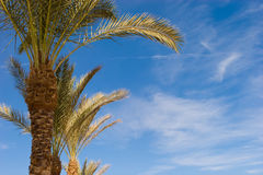 Palms. Palm-trees against blue sky Royalty Free Stock Photography