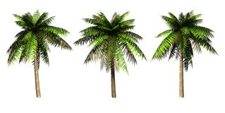 Palms. Stock Image