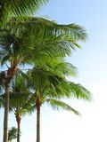 Palms. With lots of space for text Stock Photography