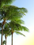 Palms Royalty Free Stock Photos