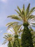 Palms. Three palms at the promenade Stock Photography