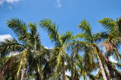 Palms. Palm trees against a blue sky Royalty Free Stock Photo