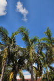 Palms. Palm trees against a blue sky Royalty Free Stock Image