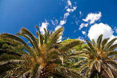 Palms. Palm trees and blue sky Royalty Free Stock Photography