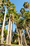 Palms. Background of tall palmetto palms Stock Photography
