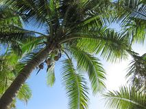 Palms. Green coconut palms against blue tropical sky Stock Photos