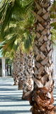 Palms. In a row in a spanish harbor stock photos