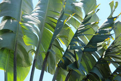 Palms against blue sky. Palms in a garden Royalty Free Stock Photos