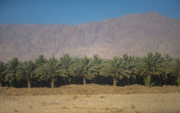 Palms agriculture Stock Images