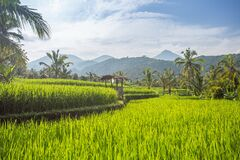 Free Palms And Ricefield On Bali Island. Royalty Free Stock Photo - 181393195