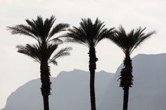 Palms as a silhouette, dead sea, Israel. Palms as a silhouette, dead sea Stock Image