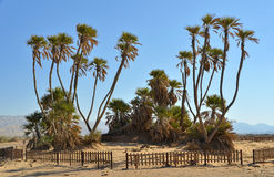 Palms in Avrona nature reserve, Eilat, Israel Stock Images